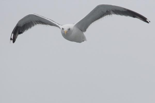 A seabird in flight. Photo by Tiffany Roufs.