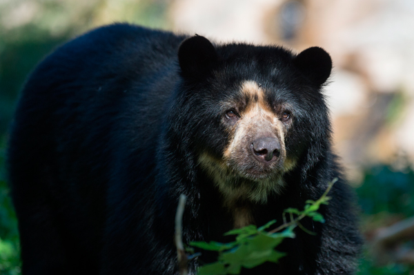 Bouba the (Andean) bear joins the WCS Queen's Zoo
