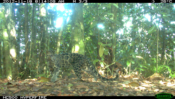 A male Sunda clouded leopard captured on one of the camera traps. Photo by Danau Girang Field Centre.