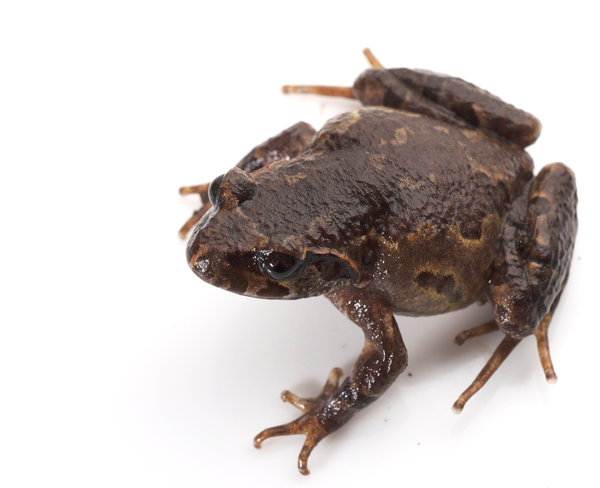 New frog species discovered on tallest mountain in Indochina