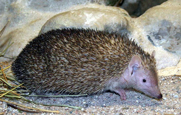 What does a shrew look like