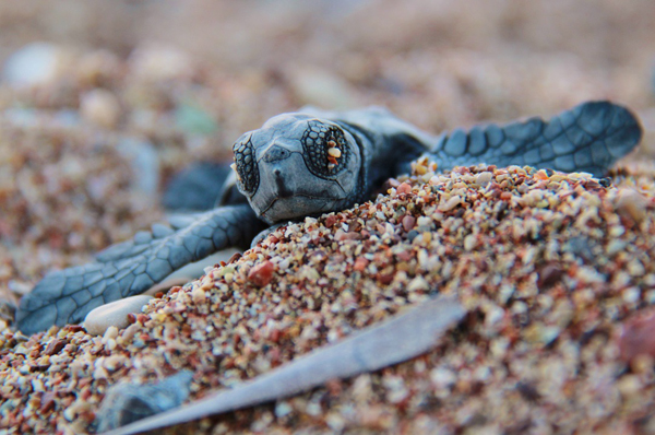 Photo essay: saving loggerhead turtles in Greece