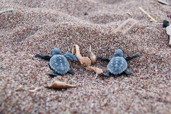essay on sea turtle Information about sea turtles: an introduction an overview sea turtles are large all other living species of turtles and tortoises.