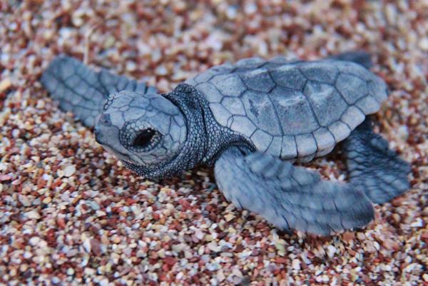 Loggerhead sea turtle essay