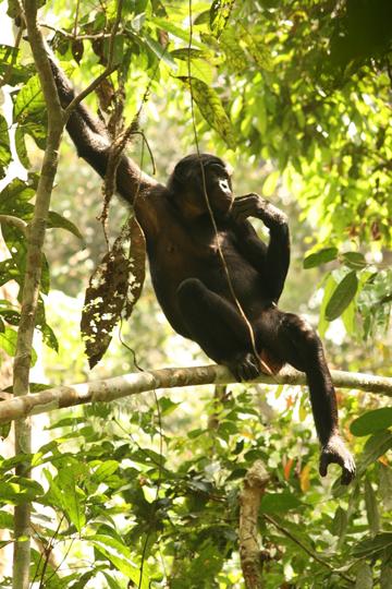 Bonobos: the Congo Basin's great gardeners