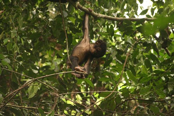 Un bonobo infante (Pan paniscus). Foto de David Beaune/MPI.