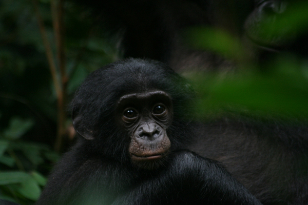 A bonobo infant (<i>Pan pansicus</i>). Photo by Terre Sauvage.&#8221;><i>A bonobo infant (<i>Pan pansicus</i>). Photo by David Beaune/MPI</i></span></p> <p>Yet bonobos, which are listed as Endangered by the IUCN Red List, remain hugely imperiled by poaching and deforestation. </p> <p>Since 1990, forests in the Democratic Republic of Congo have lost more than six million hectares and deforestation continues to imperil bonobos troops However, deforestation is not the only, or perhaps the most crucial, factor pushing numbers of bonobos to near extinction. Even in the untouched and protected areas of the forests, wildlife species, including the bonobo, are being emptied from these areas for the bushmeat market. The study points to Africa&#8217;s &#8220;bushmeat crisis,&#8221; as creating a cascading effect on the tree-dispersal network by depleting populations of apes (bonobos, chimps, and gorillas) monkeys, bats, birds and rodents.</p> <p><img src=https://mongabay-images.s3.amazonaws.com/13/1210bonobo3.jpg width=600 alt=