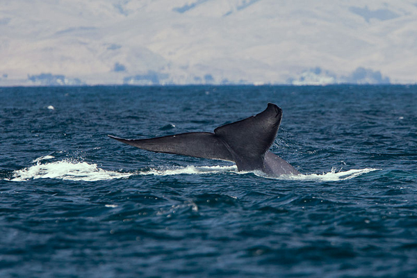 A blue whale fluke off the coast of California. Photo courtesy of