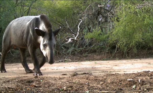 Tapir (Tapirus-terrestris) en el bosque seco del Chaco en La Fidelidad, Argentina. Foto cortesía de Verónica Quiroga.