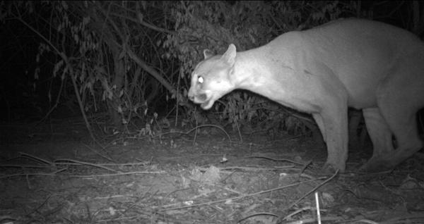 Un puma (Puma-concolor) marquant son territoire sur les rives du Río Bermejo à La Fidelidad. Photo aimablement fournie par Verónica Quiroga.