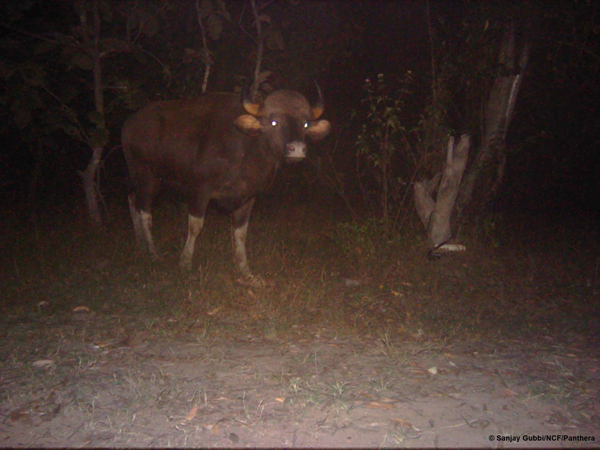 The opposite camera captures a gaur, as the battered camera lies on the ground. Photo courtesy of Sanjay Gubbi/NCF/Panthera.