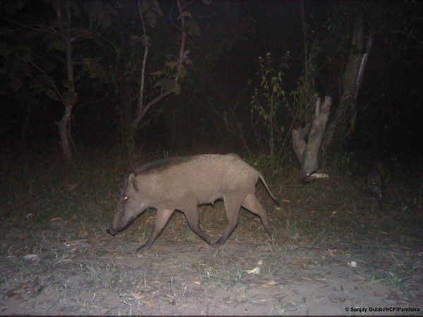 The opposite camera captures a wild pig with its many piglets. Photo courtesy of Sanjay Gubbi/NCF/Panthera.