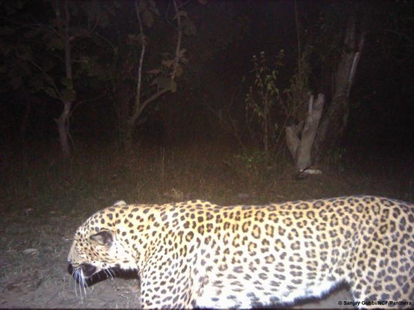 The opposite camera captures a leopard. Photo courtesy of Sanjay Gubbi/NCF/Panthera.
