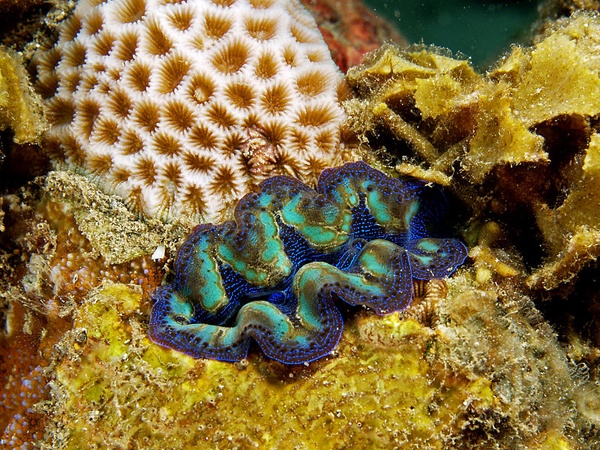 Crocus giant clam. Photo by Nhobgood Nick Hobgood under a Creative Commons Attribution-Share Alike 3.0 Unported license.