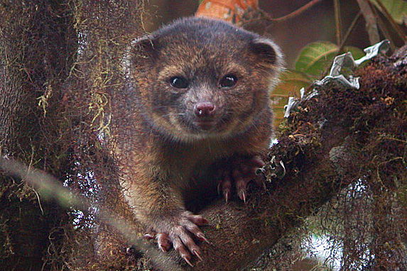 The most famous of the top ten is most definitely the olinguito (Bassaricyon neblina), which made a major media splash last year when it was announced. Living in the Andean cloud forests of Colombia and Ecuador, the olinguito is a member of the Procyonidae family, which includes raccoons, coatis, kinkajous and olingos. The olinguito, described as a cross between a cat and a teddy bear, is the first new mammal in the carnivore family described from the Western Hemisphere in 35 years. Photo by: Mark Gurney.