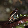 Phyllobates lugubris dart frog
