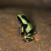 Green-and-black dart froglet