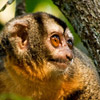 Night monkey, species that is target for trade for use in biomedical research