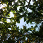 Beetlenut palms in Aceh