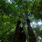 Tree ferms in Aceh