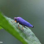 Blue leafhopper in Costa Rica