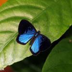Blue and black butterfly [costa_rica_la_selva_1202]