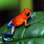 Strawberry poison-dart frog (Oophaga pumilio) in Costa rica