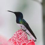 Hummingbirds [costa_rica_la_selva_1587]