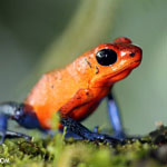Blue jeans poison-dart frog (Oophaga pumilio) in Costa rica