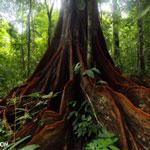 Osa rainforest tree in Costa Rica