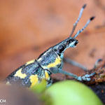 Turquoise, blue, and yellow weevil [costa_rica_osa_0110]