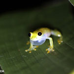 Glass frog [costa_rica_osa_0903]
