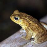 Giant Toad (Bufo marinus) [costa_rica_osa_0987]