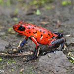 Strawberry poison-dart frog (Oophaga pumilio) [costa_rica_siquirres_0047]