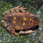 Rhaebo haematiticus frog [costa_rica_siquirres_0212]