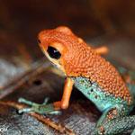 Granular Poison Frog (Oophaga granulifera) in Costa Rica