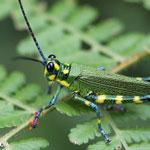 Glasshopper in Costa Rica