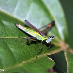 Glasshopper [costa_rica_siquirres_0797]
