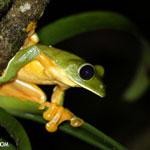 Gliding Leaf Frog in Costa Rica