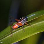 Glasshopper [costa_rica_siquirres_1040]
