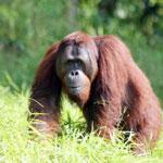 Bornean orangutan in Central Kalimantan