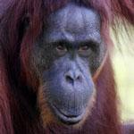 Bornean orangutan in Indonesian Borneo