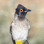 African red-eyed bulbul in Namibia