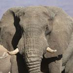 Bull elephant in Namibia