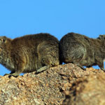 Rock dassies in Namibia