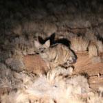 Aardwolf in Namibia