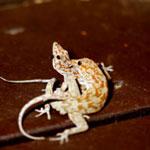 Damaraland Banded Geckos (Pachydactylus fasciatus) mating