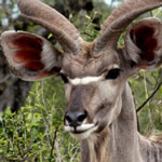 Male greater kudu in South Africa