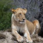 Female lion in South Africa