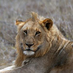 Young male lion in South Africa